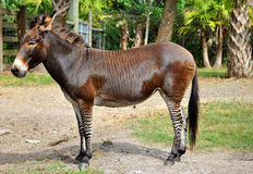 Zebroid un âne de zèbre Images stock