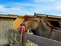 Zebroids Half Donkey, Half Zebra Royalty Free Stock Image