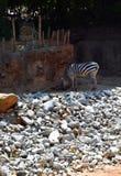 Zebry łasowanie w zoo obraz stock