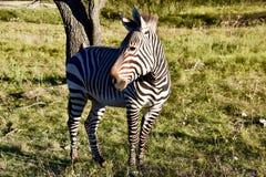 Zebry Ambassador Heartman ` s piękno: Hartman ` s zebra przy Skamieniałym obręcz przyrody centrum w roztoce Wzrastał, Teksas Zdjęcie Royalty Free