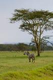 Zebry, Amboseli Zdjęcie Stock