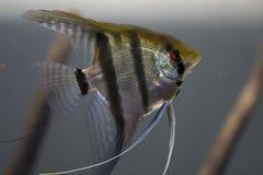 Zebry Angelfish Fotografia Royalty Free