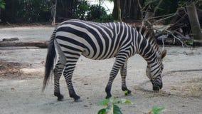 Zebry łasowanie od ziemi w Singapur zoo Zdjęcie Stock