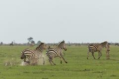 Zebry biega na obszarach trawiastych Obraz Stock