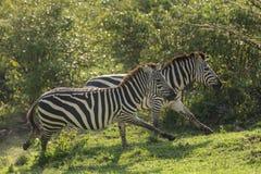 Zebry biega na obszarach trawiastych Fotografia Royalty Free