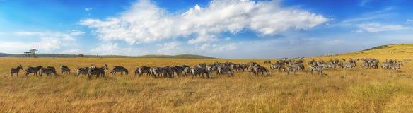 Zebry chodzi w sawannie w Afryka z rzędu Zdjęcia Stock