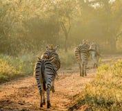 Zebry chodzi w złotym świetle Fotografia Royalty Free