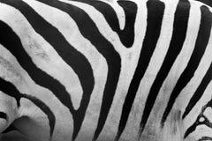 Zebry deseniowy zakończenie. Czarny i biały lampasy zdjęcia royalty free