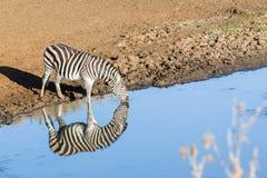 Zebry Dwoistego odbicia przyrody Wodny zwierzę obrazy stock