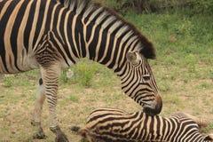 Zebry dziecko w Kruger parka narodowego gry rezerwie w Południowa Afryka i matka Fotografia Stock