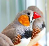 Zebry Finch zdjęcie royalty free