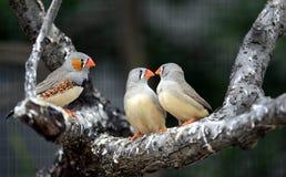 Zebry Finch obrazy royalty free