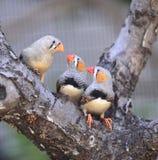 Zebry Finch zdjęcia stock