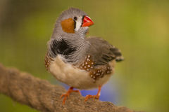 Zebry Finch Fotografia Stock