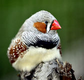 Zebry Finch obraz stock