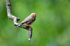 Zebry finch egzotyczny ptak siedzi na gałąź Obraz Royalty Free