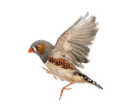 Zebry Finch latanie, Taeniopygia guttata zdjęcie stock