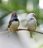 Zebry Finch ptaki zdjęcia stock