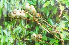 Zebry Finch ptaki Obrazy Royalty Free