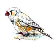 Zebry finch ptasi obsiadanie na gałąź beak dekoracyjnego latającego ilustracyjnego wizerunek swój papierowa kawałka dymówki akwar Fotografia Stock