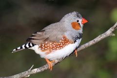Zebry Finch samiec Fotografia Royalty Free