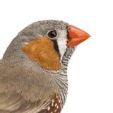Zebry Finch, Taeniopygia guttata zdjęcie stock
