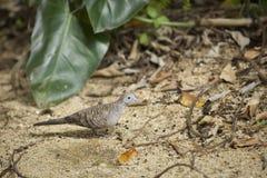 Zebry gołąbka na plaży Fotografia Stock