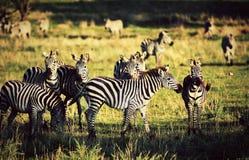 Zebry gromadzą się na Afrykańskiej sawannie. fotografia stock