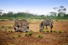 Zebry gromadzą się na sawannie przy zmierzchem Fotografia Stock