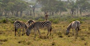 Zebry gromadzą się w Afrykańskiej sawannie Obraz Stock
