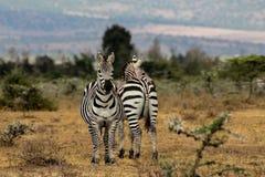 Zebry gromadzą się w Afrykańskiej sawannie Zdjęcie Royalty Free