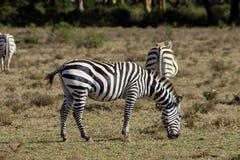 Zebry gromadzą się w Afrykańskiej sawannie Fotografia Royalty Free