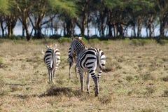 Zebry gromadzą się w Afrykańskiej sawannie Zdjęcia Royalty Free