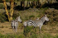 Zebry gromadzą się w sawannowej Afrykańskiej przyrodzie Obrazy Stock