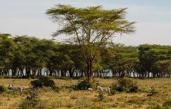 Zebry gromadzą się w sawannowej Afrykańskiej przyrodzie Obraz Royalty Free