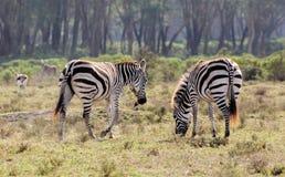 Zebry gromadzą się w sawannowej Afrykańskiej przyrodzie Zdjęcie Royalty Free