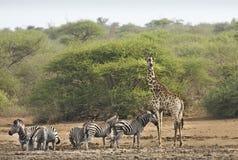 Zebry i żyrafa w głębokiej sawannie, kruger bushveld, Kruger park narodowy, POŁUDNIOWA AFRYKA Zdjęcia Stock