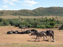 Zebry i antylopy w Southafrica Fotografia Royalty Free