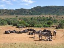 Zebry i antylopy w Southafrica Obrazy Stock