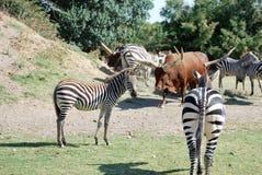 Zebry i bizony są odpoczynkowi w dzikim Afryka safari Zdjęcia Royalty Free