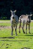Zebry, koński rodzinny zwierzę, żyją w obszarach trawiastych, sawanny, drewno Obraz Stock