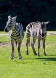 Zebry, koński rodzinny zwierzę, żyją w obszarach trawiastych, sawanny, drewno Fotografia Royalty Free