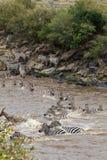 Zebry Krzyżować Mara rzekę w Kenja Masai Mara, Afryka Obrazy Royalty Free
