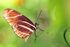 Zebry Longwing motyl Zdjęcia Stock