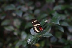 Zebry Longwing motyl Obraz Stock