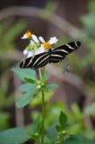 Zebry Longwing motyl przy pracą Zdjęcia Stock