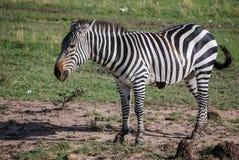 Zebry Maasai Mara Krajowa rezerwa Kenja Afryka Obraz Stock