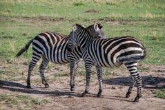 Zebry Maasai Mara Krajowa rezerwa, Kenja Afryka Zdjęcie Royalty Free