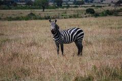 Zebry Maasai Mara Krajowa rezerwa Kenja Afryka Zdjęcie Royalty Free