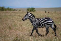 Zebry Maasai Mara Krajowa rezerwa Kenja Afryka Zdjęcia Stock
